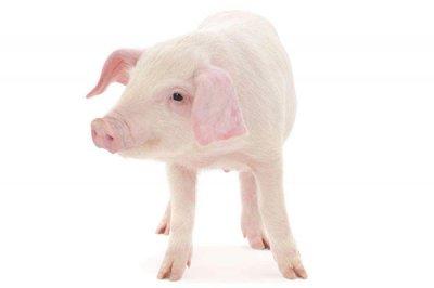 饲料Yabo888之甘露寡糖对动物的作用
