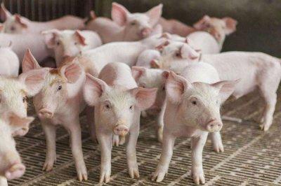 饲料Yabo888二甲酸钾在家畜中发挥的作用