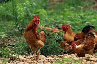 二甲酸钾对家畜的影响
