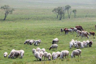 饲料Yabo888在羊身上的运用方法