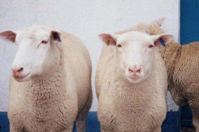 饲料Yabo888厂家提醒您,养羊要注意这几点